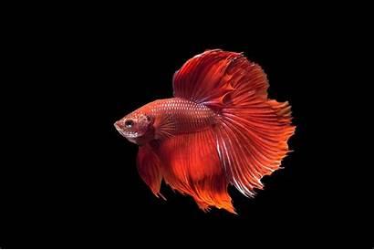 Fish Betta Wallpapers Fighting Iphone Siamese Desktop