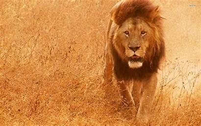 Lion Wallpapers Wild Screensaver Screensavers Wallpaperxyz Background