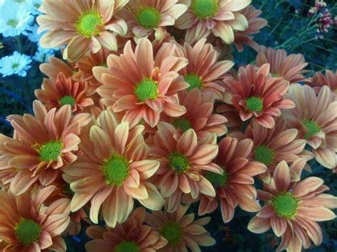 jual tanaman krisan aster orange bibitbungacom