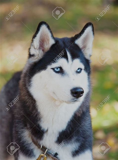 popular siberian husky pictures  dog lovers puppies