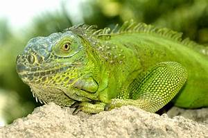 Green Iguana - Animal Facts and Information