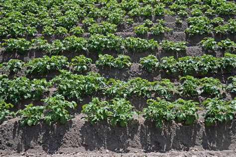 kartoffeln pflanzen erd 228 pfel selber anbauen plantura