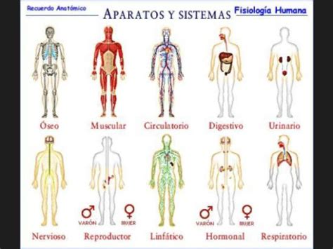 lista sistemas y aparatos cuerpo humano