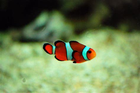 clown tropical fish nemo sea cute clownfish anemone patch stu laura adventures 20cm 10m occupied hovers diameter aka circle above