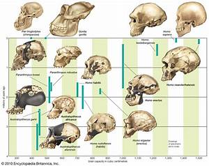 3.6 Human Evolution - AT SKOOL WITH MRS JOHNS