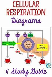 Cellular Respiration Diagrams And Study Guide In 2020