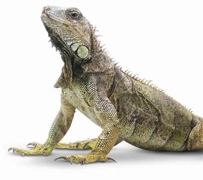 Reptiles Reptile Canopy Lizard Layer Facts Dk