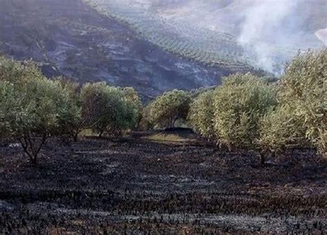 Digjen mijëra rrënjë ullinj në kodrat e Dushkut në Lushnje ...