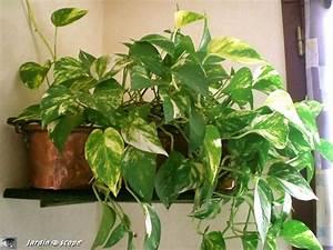 Plante D Intérieur : le pothos une plante d 39 int rieur facile vivre le ~ Dode.kayakingforconservation.com Idées de Décoration