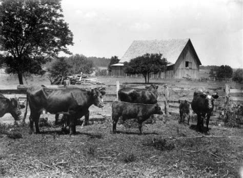 corral cattle