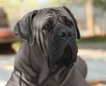 Mastiff Neapolitan Breed Dogs Dog Guard Giant