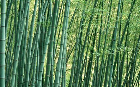 pictures of bamboo trees bamboo trees 1920x1200 wide image photography nature
