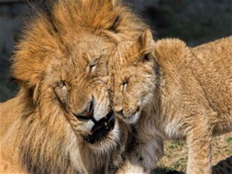 fondos de leones imagenes leones