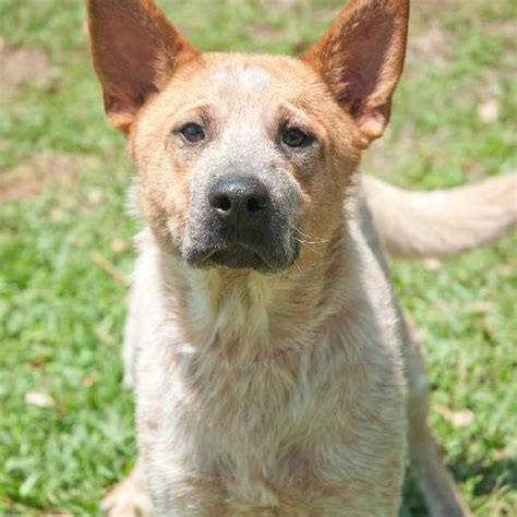 heeler dog breed dog breeds picture