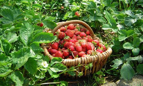 Erdbeeren Einfrieren « Wir Sind Im Garten
