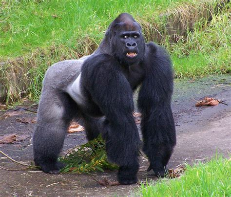25 Remarkable Photographs of Gorillas «TwistedSifter