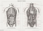 Internal Organs In Human Anatomy Wood Engravings Published ...