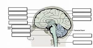 25 Label The Brain Anatomy Diagram Answers