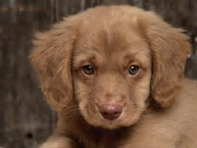 Do Cockapoo Dogs Shed Hair by Top 10 Puppy Names For 2014