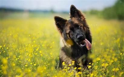 Shepherd German Desktop Wallpapers Puppy Puppies Dog