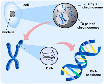 Genetic Diagram Gene Dna by The Genetic Code S Cool The Revision Website