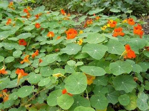 Garden Nasturtium by Nasturtiums A Gardener S Snaplant