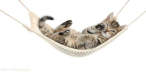 Kitten In A Hammock by Tabby Kitten Lounging In A Hammock Photo Wp35630