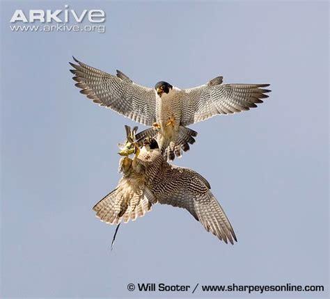 falcon cuisine bird conservation success stories arlapierre