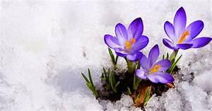 Blumen Im Winter : lila krokusse umgeben von schnee hd hintergrundbilder ~ Eleganceandgraceweddings.com Haus und Dekorationen