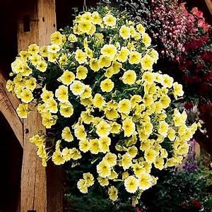 Petunien Samen Kaufen : petunie viva yellow online kaufen bei g rtner p tschke ~ Frokenaadalensverden.com Haus und Dekorationen