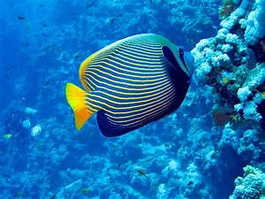 Emperor Angelfish The Complete Care Guide Fishkeeping World