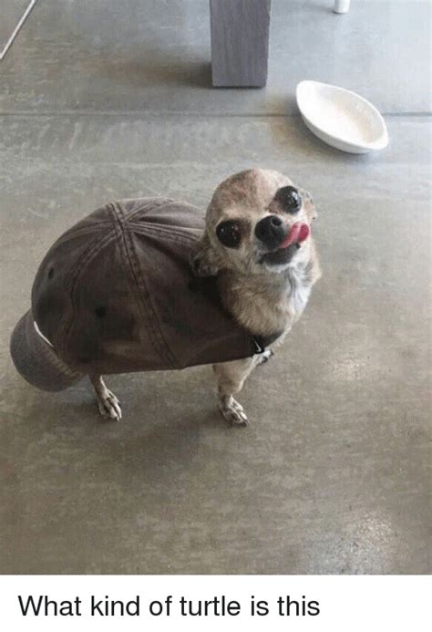 What Kind Of Turtle Is This  Funny Meme On Meme