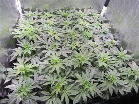 plantes de cannabis en croissance philosopher seeds