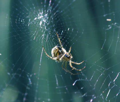 entomologie comment les araign 233 es tissent leurs toiles araign 233 e orbit 232 le antiopa nature