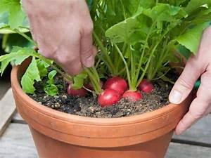 Culture Des Radis : les 20 l gumes les plus faciles faire pousser en pot ~ Melissatoandfro.com Idées de Décoration
