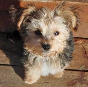 Yorkie Maltese Mix Puppy