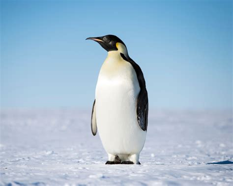 emperor penguin facts diet habitat pictures