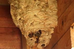 Comment Tuer Un Frelon : nid de frelons o le trouver et comment le d truire insecticides kapo ~ Melissatoandfro.com Idées de Décoration