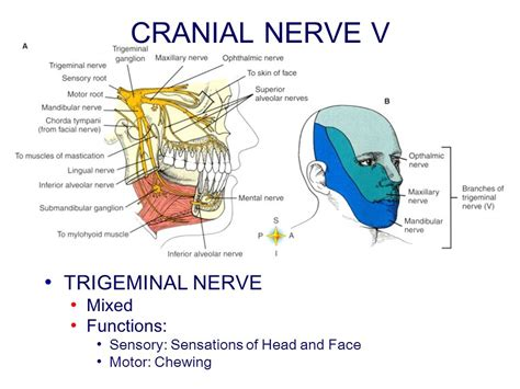 chapter 14 peripheral nervous system ppt