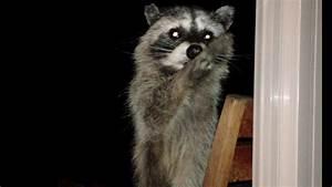 How A Raccoon Steals Your Heart - Cinnamon