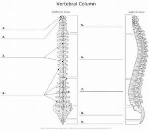 Vertebral Column And Rib Cage