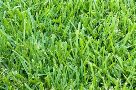 All About St. Augustine Grass