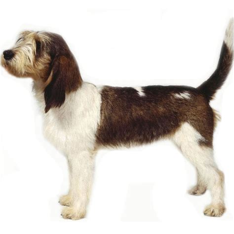 basset griffon vendeen grand breed guide learn