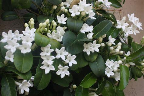 Flowering Vines Jasmine, Vines Flowering Jasmine