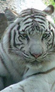 White tiger @ Busch Gardens, Tampa, FL... | Busch Gardens ...