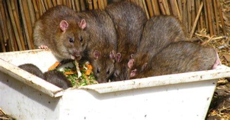 bird feeders rats ehow uk