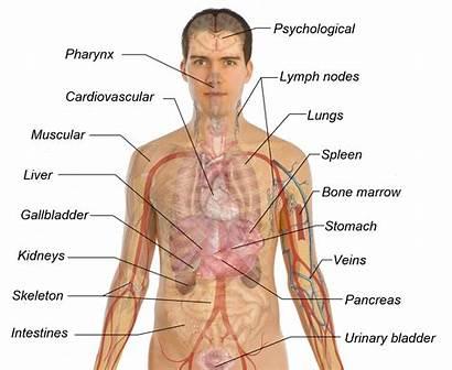 Organs Diagram Male Human Organ Anatomy Template