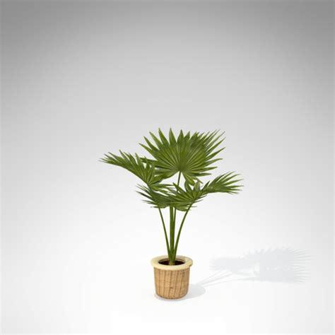 chinesische hanfpalme pflege pflanzen in nanopics trachycarpus fortunei chinesische hanfpalme tessiner palme winterhart