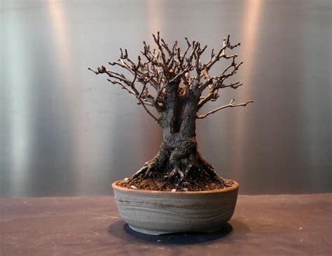 mon bonsa 239 perd ses feuilles du ma 238 tre bonsa 239