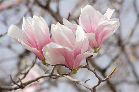 magnolia soulangeana lilliputian saucer magnolia